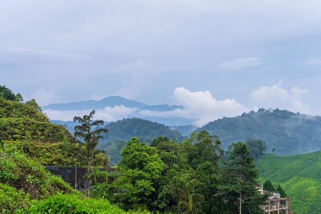 Plantações de chá verde nas colinas nas terras altas. o melhor chá é cultivado em climas úmidos e nebulosos no alto das montanhas.