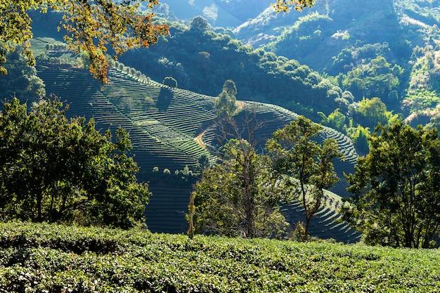 Plantações de chá verde no topo da colina da província de chiang rai, tailândia paisagem