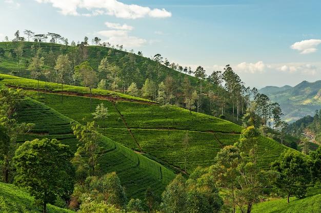 Plantações de chá verdes filas paisagem nuwara eliya