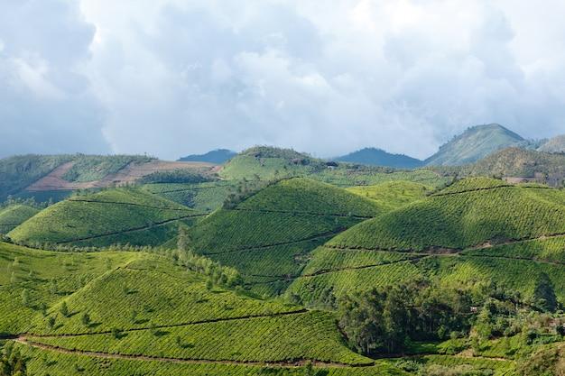 Plantações de chá