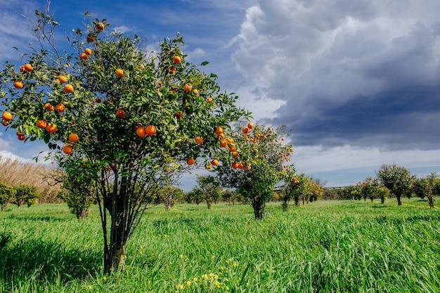 Plantações de laranjeiras