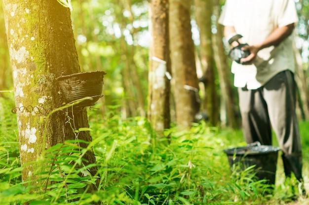 Plantadores de borracha são colhidos no jardim de seringueira