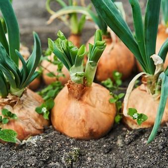 Plantando cebola no jardim. plantação na agricultura horta