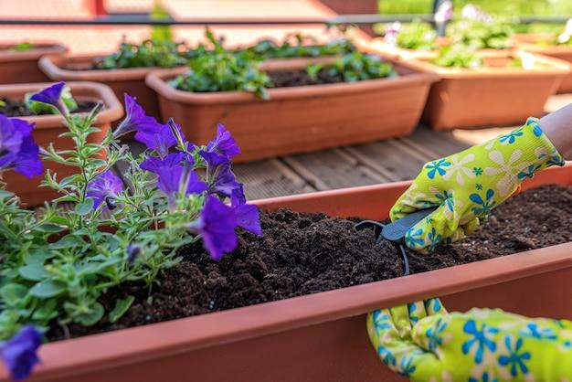 Plantando flores. as mãos do jardineiro plantam flores em um vaso de solo em um recipiente no terraço, varanda, jardim. conceito de jardinagem.