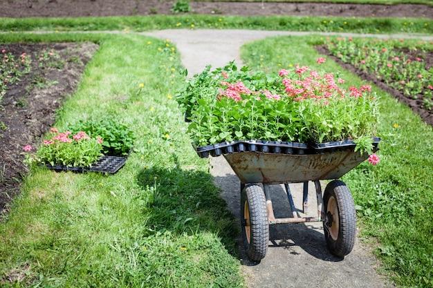 Plantando plantas, flores no parque, jardim, carrinho de mão, terra, cultivo