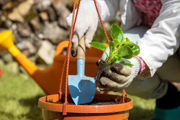 Plantando plantas, uma mulher planta brotos jovens no chão, close up, sem rosto