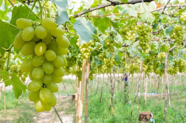 Plantando uvas verdes nos trópicos, tailândia