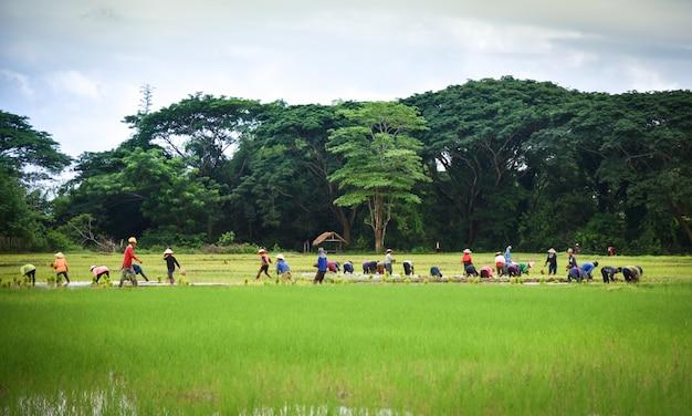 Plantar arroz, ligado, chuvoso, agricultura asiática, plantar