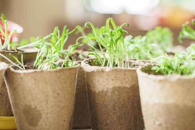 Plantar em pote de turfa de plântula em uma mesa de madeira