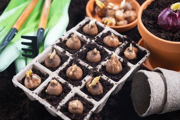 Plantar flores da primavera. ferramentas de jardinagem e mudas bulbosas plantadas em vasos de turfa. vista do topo.