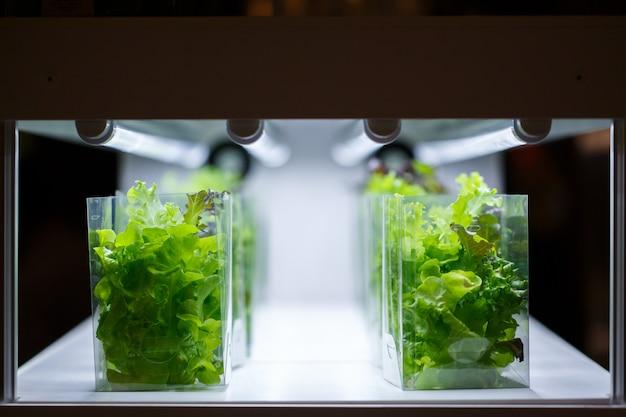 Plantas aquáticas de alface verde carvalho em uma sala de cultura de tecidos