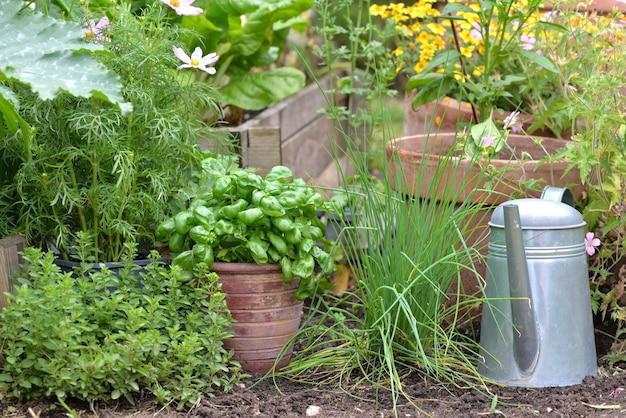 Plantas aromáticas e manjericão em vaso colocado no solo com barbear e origano e regador em jardim