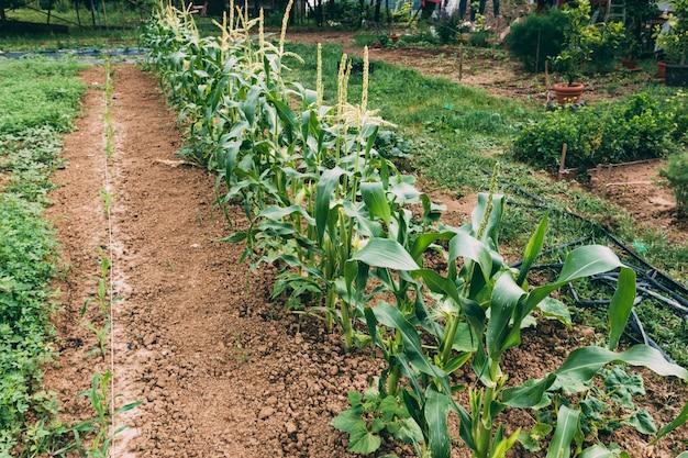 Plantas, crescendo, fazenda