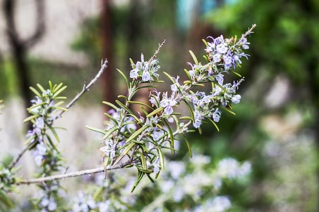 Plantas de alecrim em flor no jardim de ervas azul verde bokeh