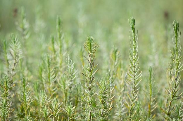 Plantas de alecrim na natureza
