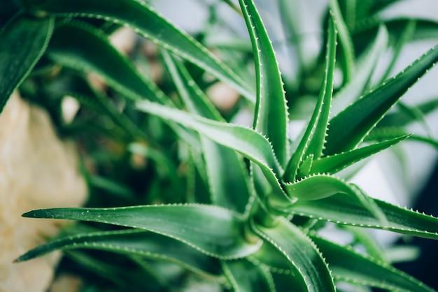 Plantas de aloe vera verde. aloe tropical. jardim de fazenda natureza com fitoterapia