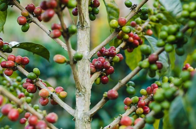 Plantas de café com grãos de café.