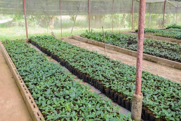 Plantas de café em um viveiro