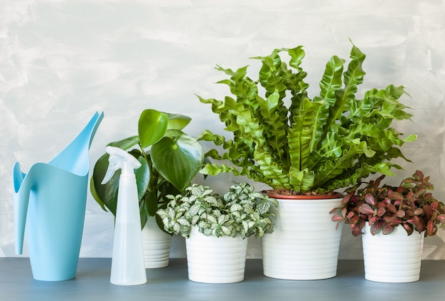 Plantas de casa asplenium nidus, peperomia e fittonia em vasos