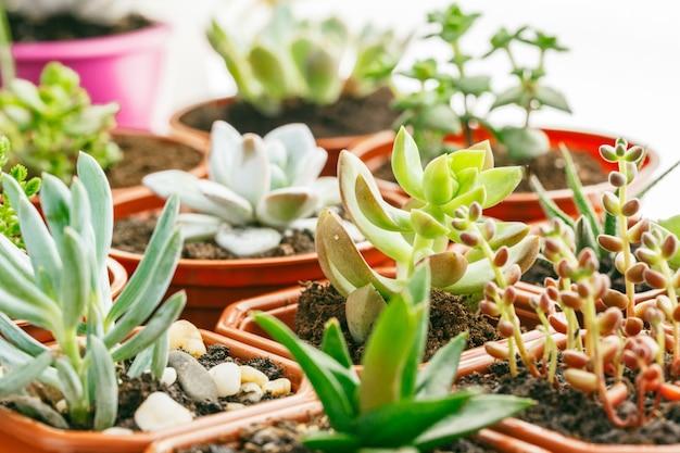 Plantas de casa com flores suculentas