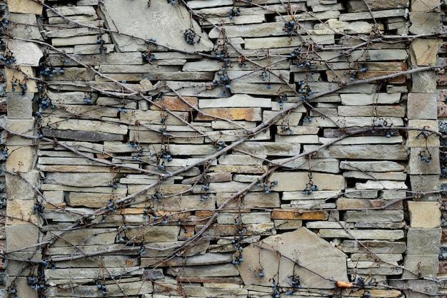 Plantas de escalada com bagas secas em uma parede de tijolo.