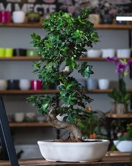 Plantas de ficus bonsai ginseng retusa em vaso branco