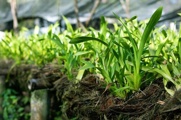 Plantas de flor de orquídeas frescas no berçário de orquídea