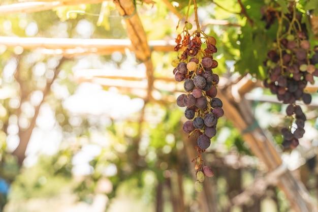 Plantas de fruto das uvas vermelhas ao ar livre pelo por do sol.