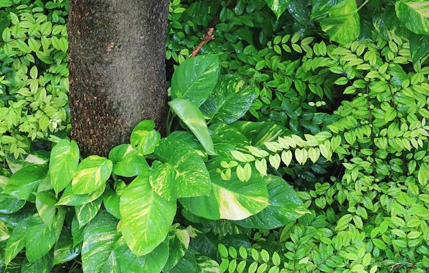 Plantas de hera do diabo verde vibrante no jardim após a chuva