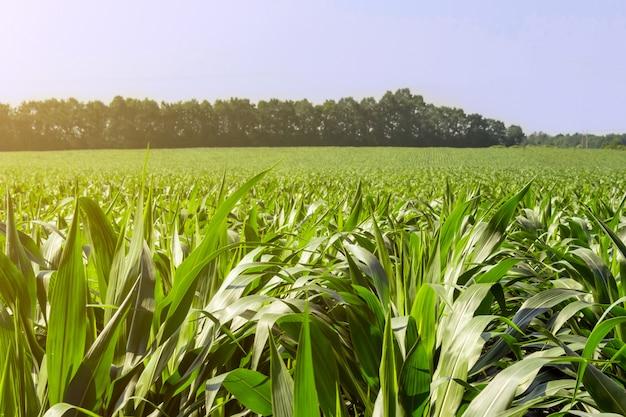 Plantas de milho fortes e uniformes no campo, na fase de formação da rocha