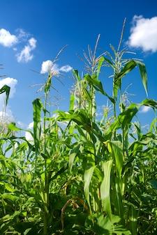Plantas de milho verde