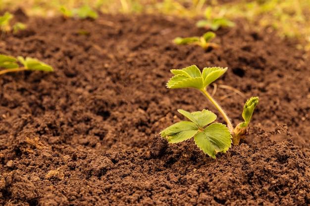 Plantas de morango jovens crescendo no chão