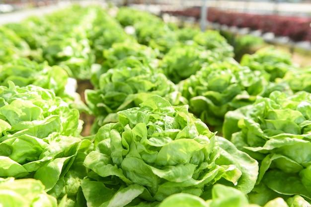 Plantas de salada de fazenda hidropônica de alface butterhead na água sem agricultura de solo na estufa sistema hidropônico de vegetais orgânicos salada de alface verde jovem crescendo no jardim