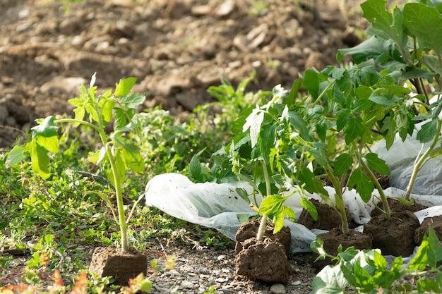 Plantas de tomate. agricultura, conceito agrícola, produção biológica doméstica