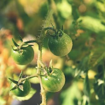 Plantas de tomates verdes frescos. tomate de floração.