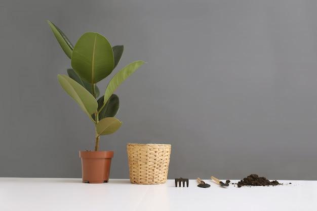 Plantas de transplante de ficus na panela nova em cima da mesa. plantas de jardim em casa em fundo branco e cinza. postura plana.