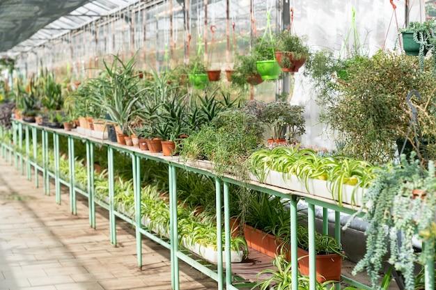 Plantas domésticas comercializam viveiro de grande estufa com vasos de plantas em vasos de plástico em prateleiras