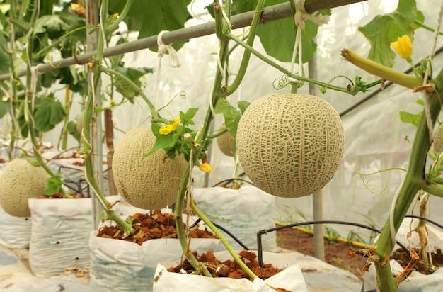 Plantas frescas dos melões do cantalupo que crescem na exploração agrícola da estufa.