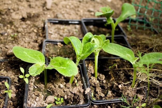 Plantas jovens de folhas de abobrinha na estufa