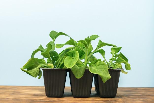 Plantas jovens em três potes de plástico em uma mesa de madeira