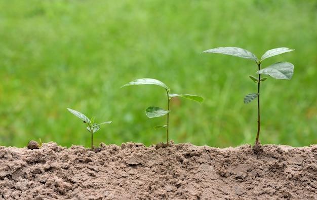 Plantas jovens está crescendo no passo sobre fundo verde da natureza.