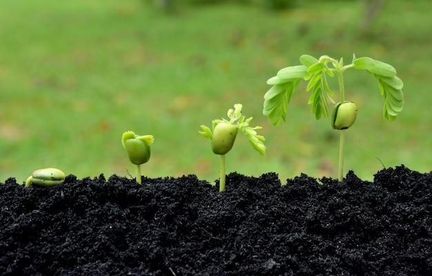 Plantas novas do tamarindo que crescem no solo no fundo verde da natureza. conceito de passo crescente.
