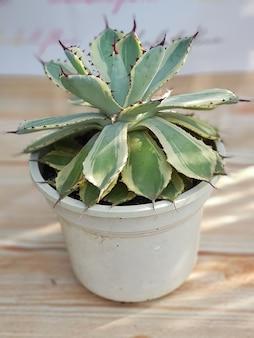Plantas ornamentais, agave cor lophantha quadri, tipos de agave, em vasos, folhas verdes, naturais muito boas para decorar o ambiente de sua casa natural saudável fresco