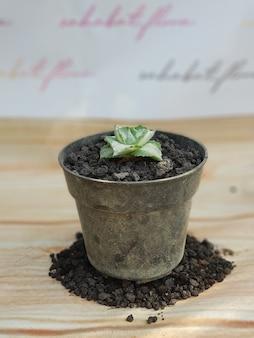 Plantas ornamentais, agave potatorum, tipos de agave, em vasos, folhas verdes, naturais são muito boas para decorar o ambiente de sua casa natural saudável fresco