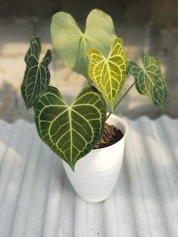 Plantas ornamentais, antúrio clarinervium, tipos de antúrio, em vasos, folhas verdes, naturais muito boas para decorar o ambiente de sua casa natural saudável fresco