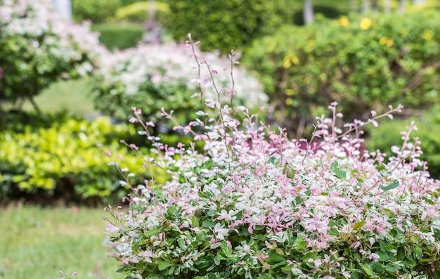Plantas ornamentais, belas folhas-de-rosa e brancas, pithecellobium dulce.
