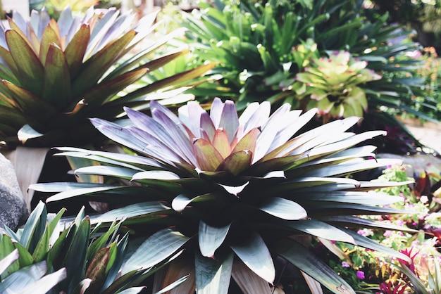 Plantas ornamentais no jardim - folhas verdes de plantas tropicais de folhas grandes de bromélias listradas