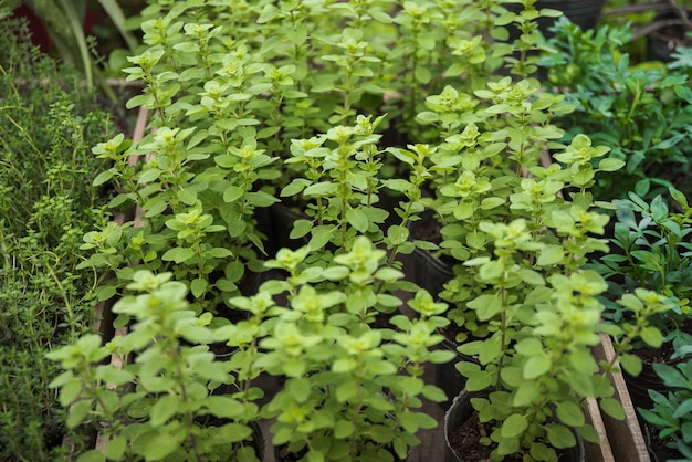 Plantas potted frescas que crescem na estufa