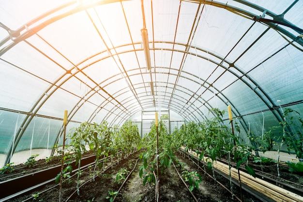 Plantas que crescem em uma estufa de plantas. agricultura