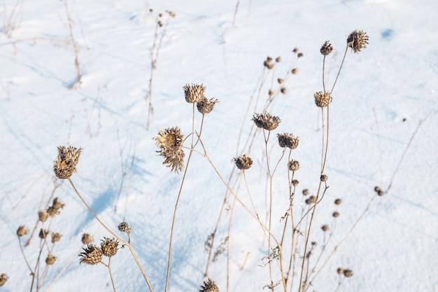 Plantas secas na neve, prado no inverno.